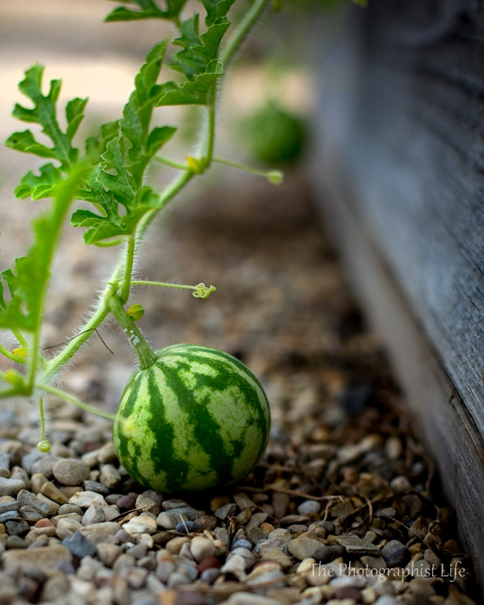 Baby Melons