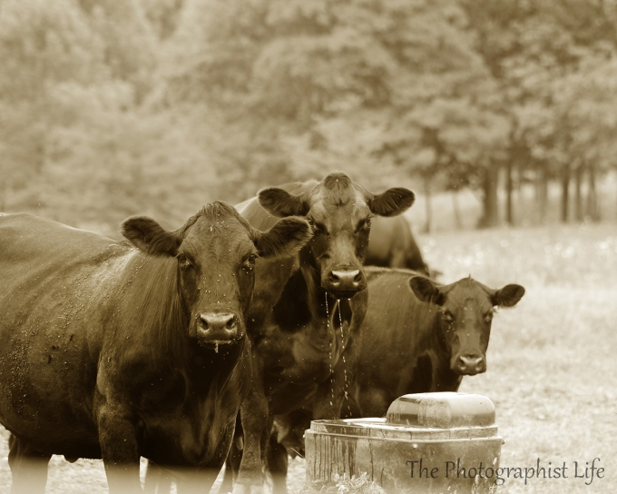 french cows pl web