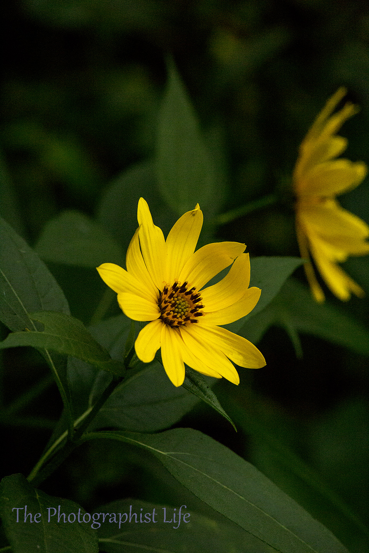 yellow flower 1web