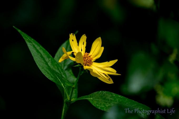 yellow flower 3 web
