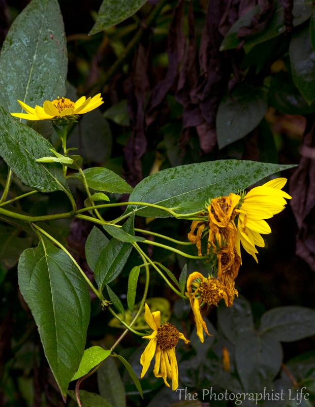 yellow w purple web