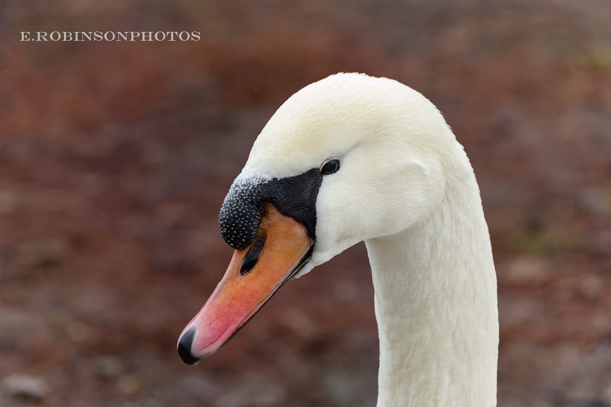 swan head profile web