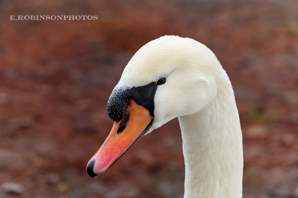 swan head profile web