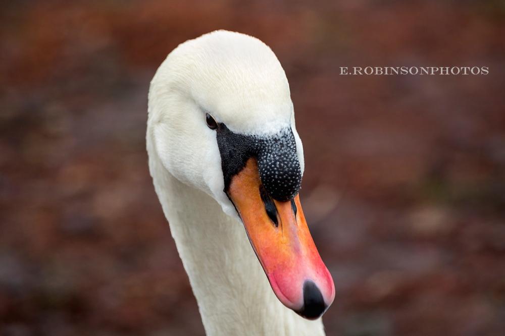swan head weeb