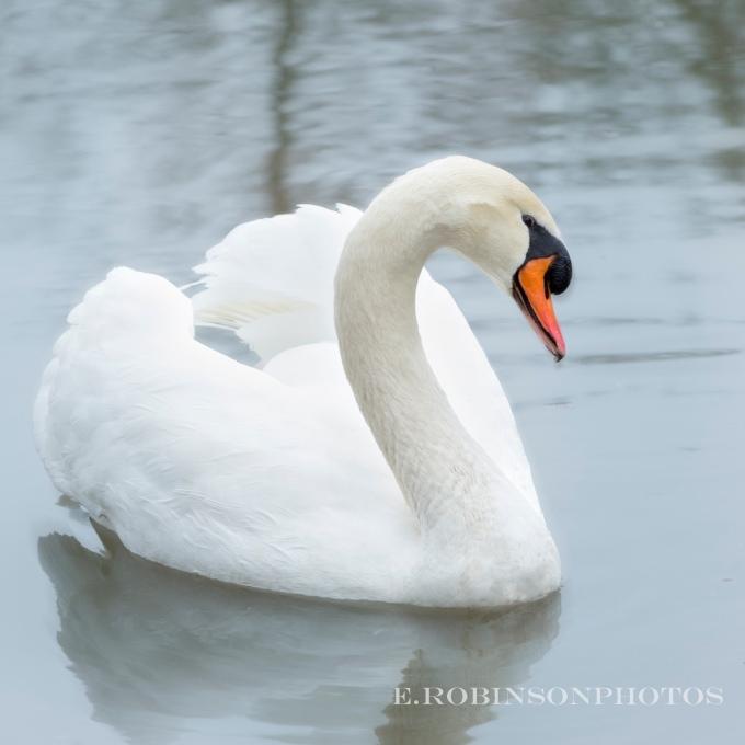 swan heart web